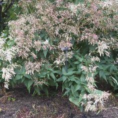 Renouée - Persicaria polymorpha