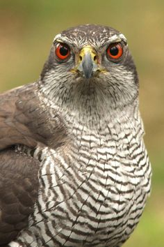Northern Goshawk at the Forest Hide by Jelle Van de Veire on 500px: 'In North America, juveniles have pale-yellow eyes, and adults develop dark red eyes usually after their second year...' https://en.wikipedia.org/wiki/Northern_goshawk #Birds #Goshawk