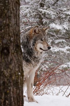~~Timber Wolf by WolvesOnly~~