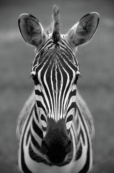 Zebra Photograph - Zebra Face by Stamp City Zebra Face Paint, Zebra Painting, Zebra Drawing, Zebra Art, Zebra Pictures, Scenery Pictures, Animal Pictures, Animals Of The World, Animals And Pets
