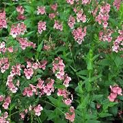 Diascia personata added by Shoot)