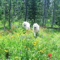 Besides, have you ever seen a more beautiful tableau than these two pups in some wildflowers? | 22 Reasons Samoyeds Are THE Animal Of 2016