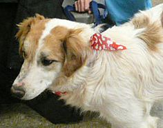 Dan Dogs-Wally Border Collie Mix • Baby • Male • Medium Clay County Animal Shelter, Inc. Henrietta, TX