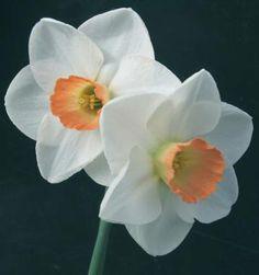 daffodil fragrant rose - Google Search