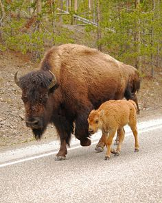 Bison With Her Young Calf in Yellowstone National Park. Animals Of The World, Animals And Pets, Baby Animals, Cute Animals, Beautiful Creatures, Animals Beautiful, Buffalo Animal, Musk Ox, Photo Animaliere