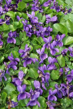 Violets - Blooms late March, early April at Chimney Rock. Check out what's blooming spring & fall: http://bit.ly/10i7jUd