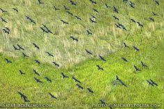 Open-billed storks @ Okavango Delta in #Botswana. See #Okavango travel guide: http://www.safaribookings.com/okavango