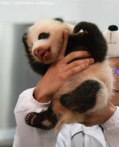 https://flic.kr/p/NiGjMU | Panda cub | at Adventure world, Wakayama, Japan