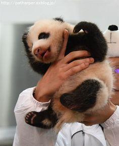 https://flic.kr/p/NiGjMU   Panda cub   at  Adventure world, Wakayama, Japan