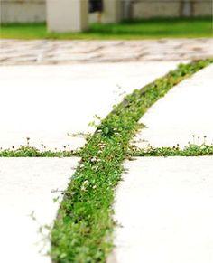 コンクリート目地に植えたグラウンドカバー キルフェボン!