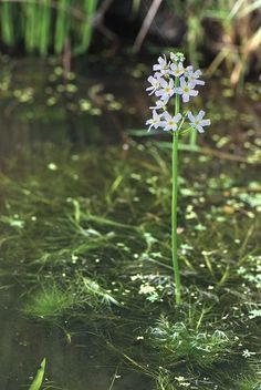 Water Violet, Bach Flowers, Container Water Gardens, London Garden, Botanical Illustration, Ayurveda, Remedies, Nature, Ponds