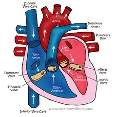 Diagram Of The Circulatory System For Kids | Medical Anatomy