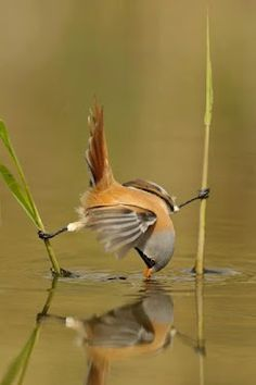 naturaleza sabia - How to get a drink without getting wet.