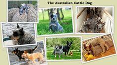 Jak wychować szczęśliwego psa: Australian Cattle Dog