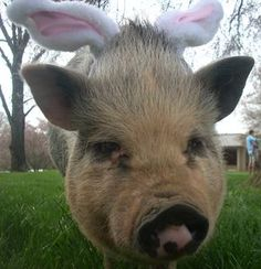 42 Best Pig  images in 2012 | Cute pigs, Mini pigs, Little pigs