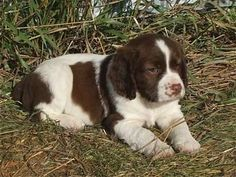 """Click visit site and Check out Best """"English Springer Spaniel"""" T-shirts. This website is top-notch. Tip: You can search """"your name"""" or """"your favorite shirts"""" at search bar on the top. Springer Spaniel Puppies, English Springer Spaniel, Cute Puppies, Cute Dogs, Dogs And Puppies, Animal Magic, Puppys, Beautiful Dogs, Mans Best Friend"""