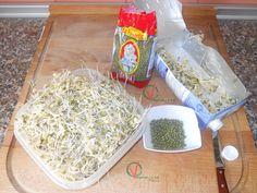 Semillas de haba mung germinadas.