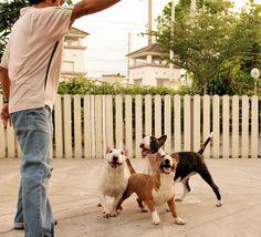 The girl gang. #BullTerrier #Bully #Dog #Hoyaa #Cute