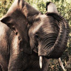 ❥ Elephant