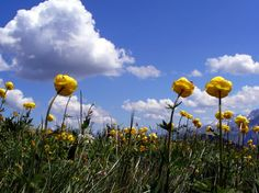 Alpine Trolls (globe flower) Photo Favourite photos - Photographer: Schoen Carol