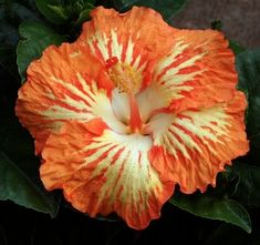 Fireball Variegated..one of my faves..all colors and sizes grow here..very well..from small, to drooping to dinner plate size..single, doubles and triples. + Tropical + Coastal + Florida Garden + Landscape