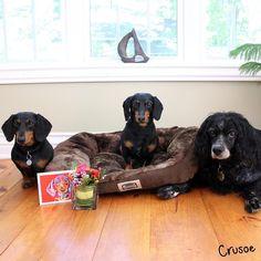 crusoe celebrity dachshund | Crusoe the Celebrity ...