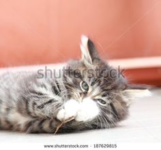brown puppy of siberian cat, playing with a leaf