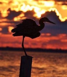 Heron; Destin, FL