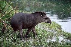 The Anta is one of the largest mammals in South America when it reaches adult weight of 300 kg has a flexible trunk that smells and feels damp. It is a herbivorous animal and spends nearly ten hours a day looking for food. In Brazil it is found in the Pantanal, the Amazon rainforest, the Cerrado and Atlantic Forest.