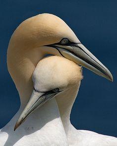 Si un jour on m'avait dit... Gannets (Bonaventure Island, Quebec). Photo by Luc Marc on Flickr.