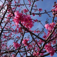 【kenniiyan】さんのInstagramをピンしています。 《1/25(水) 14:34  冬晴れ空☀の下✨  寒緋桜(カンヒザクラ)🌸 または、緋寒桜(ヒカンザクラ)🌸 梅の花🌸見たいに紅い桜🌸  六分咲き✨  #屋久島 #屋久島の写真 #屋久島の光景 #屋久島の景色 #屋久島の風景 #屋久島の絶景 #屋久島の民宿 #屋久島ガイド #屋久島life #屋久島国立公園 #国立公園 #yakushima #yakushimanationalpark #nationalpark #世界遺産 #世界自然遺産 #worldnationalheritagesite #worldheritage #Sony #Xperia #SonyMobile #SonyXperia #ヒカンザクラ #カンヒザクラ #緋寒桜 #寒緋桜 #紅い桜 #梅の花見たいな桜 #桜 #民宿宇美河》