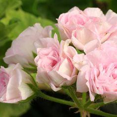 "¤ª""˜¨¨ Geranium Deacon Pastel Mist 10 Seeds AL1985SC Pink   eBay"
