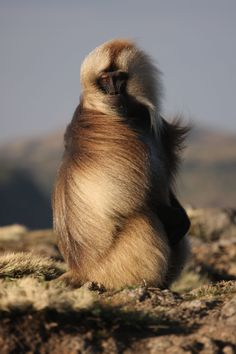 An adult male gelada sitting on the cliffside on a windy morning, threatening another male in the group.