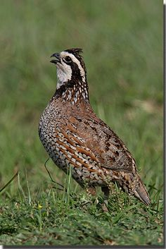 """Bobwhite Quail: Who hasn't answered the call of """"bobwhile""""? I have heard bobwhites most of my entire life, especially as a child. My siblings and I would """"keep 'em talking"""" as we put it then."""