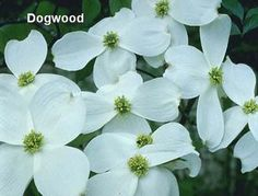 The stately white dogwood tree, so common in the Smokies and on Hidden Springs Resort.