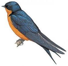 Black-and-rufous Swallow (Hirundo nigrorufa)