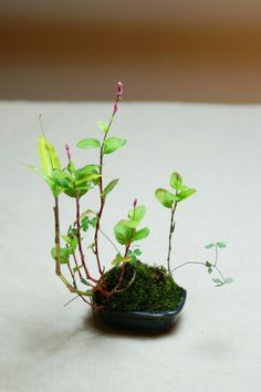 Kokedama - 'Kokedama, are small green moss balls, that we use to plant small trees such as maples, mountain pines, small herbs or flowers.'