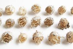 wild cucumber seedpods  (mary jo hoffman)