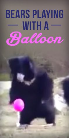 This #Video of Bears Playing with a Balloon is Going #Viral!