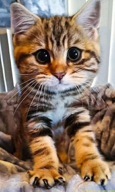 Super Cute Kittens, Cute Baby Cats, Cute Cats And Kittens, Cute Baby Animals, Kittens Cutest, Animals And Pets, Funny Animals, Pretty Cats, Beautiful Cats