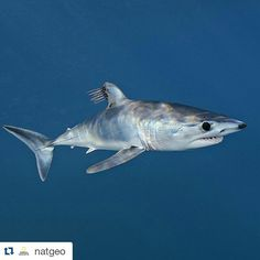 #Repost @natgeo  Photo by @BrianSkerry A young shortfin mako shark cruises just below the surface in the offshore waters of southern California parasitic copepods trailing off its dorsal fin. Makos are one of the fastest fish in the sea capable of bursts up to 60mph and of all shark species they have one of the largest brains relative to body size. The numbers of makos have declined worldwide due to over fishing and the demand for shark fins. They are currently listed as vulnerable…