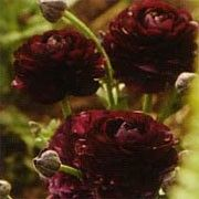 Ranunculus 'Purple Heart' (Ranunculus 'Purple Heart') Click image to learn more, add to your lists and get care advice reminders  each month.