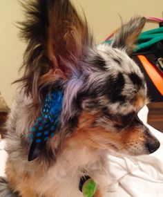 Diego, my blue merle chihuahua got his hair done! Purple highlights and feathers!
