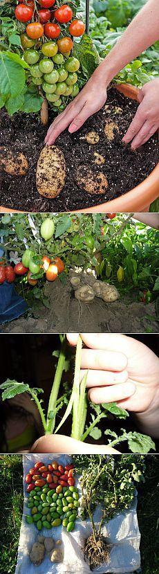 Томатокартофель - урожай томатов и картофеля с одного куста | Дачный участок