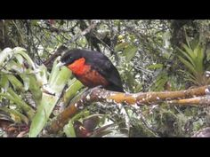 Aves de Colombia - Birds of Colombia - YouTube