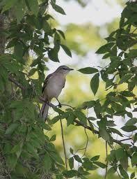 Mocking Bird Mocking Birds, Backyard Birds, Arkansas, Mississippi, Pet Birds, Texas, Gardening, Painting, Little Birds