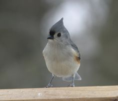 Tufted Titmouse, Baeolophus bicolor, Family Paridae, includes Chickadees and titmice. Sexes alike. Small, hardy birds with short wings and drab plummage. Very agile and swift. (photo: Jan/Feb, 2004)