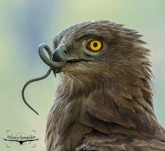 Aguila culebrera (circaetus gallicus) #snakeeagle #loves_spain_nature #naturaleza_spain #animals_captures #explore_wildlife…