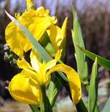 Iris giallo: Ardo di passione per te