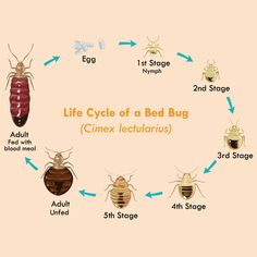 What Is the Life Cycle of a Bed Bug?